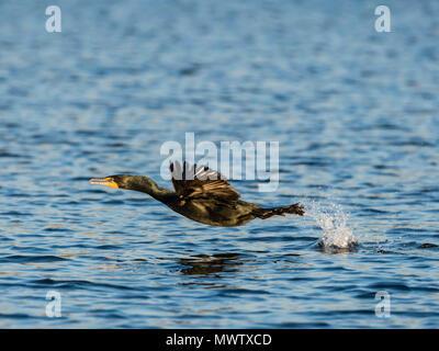 Doppia adulti-crested cormorano (Phalacrocorax auritus) in volo sul fiume Homosassa, Florida, Stati Uniti d'America, America del Nord Immagini Stock