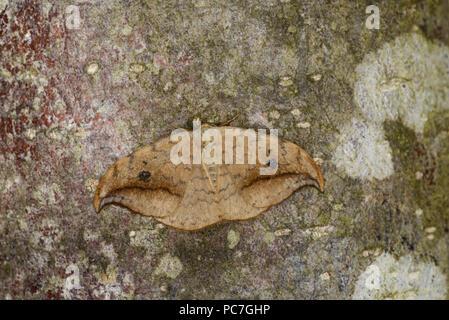 Gancio di ghiaia-punta (falena Drepana falcataria) adulto a riposo sul tronco di albero, Monmouth, Galles, Giugno Immagini Stock