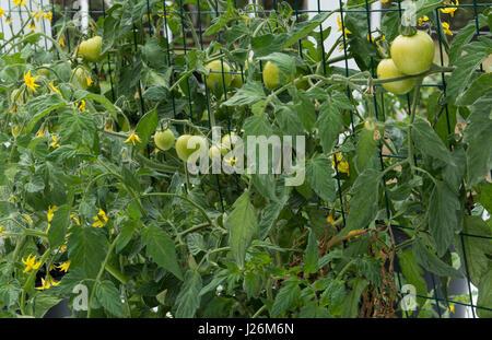 Central Florida home organico giardino con piante di pomodoro e verdure in cortile per una sana dieta e mangiare Immagini Stock