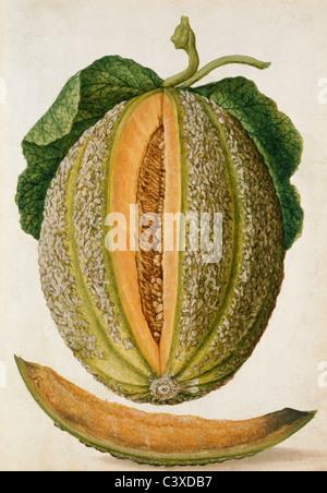 Melone, da Jacques Le Moyne de Morgues. Francia, metà del XVI secolo Immagini Stock