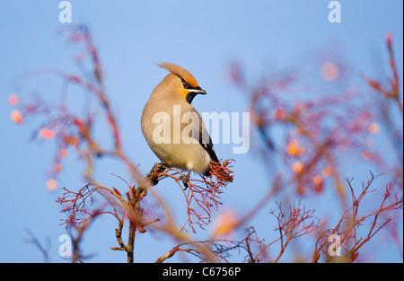 WAXWING Bombycilla garrulus un adulto appollaiato in un rowan tree che è stato spogliato delle sue bacche Nottinghamshire, Immagini Stock