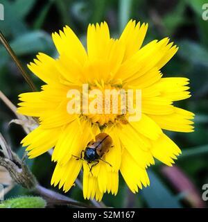 Una coccinella perchs in un giallo daisy in Prado del Rey, Sierra de Grazalema, Andalusia, Spagna Immagini Stock