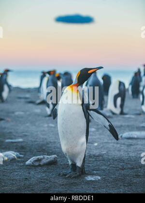 Immagini incredibili hanno catturato un 'sea' dei pinguini con centinaia di uccelli per quanto l'occhio può vedere. La scatti sorprendenti mostrano i pinguini raccolta sulla spiaggia con i loro giovani come le montagne sorgere alto nel cielo dietro di loro. Altro suggestivo immagini mostrano il sole che tramonta come i pinguini waddle in tutta la spiaggia e il fiero animali sticking i loro becchi nell'aria. La notevole scena è stato catturato nel sud della Georgia nel Sub Antartico isole dell' Antartide da polar fotografo David Merron (42) da Toronto, Canada. Mediadrumimages / David Merron Immagini Stock