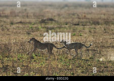 Ghepardi in esecuzione, Serengeti, Tanzania (Acinonyx jubatus) Immagini Stock