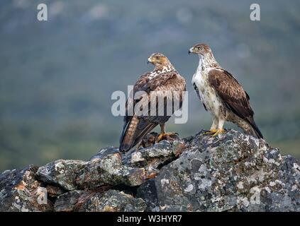 Bonelli eaglepair (Aquila fasciata), coppia, maschio diritto, con la preda, Estremadura, Spagna Immagini Stock