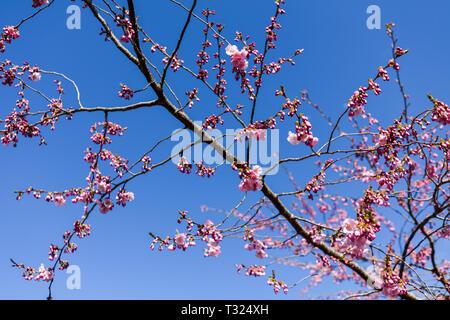Rosa fiori di ciliegio in primavera, Immagini Stock