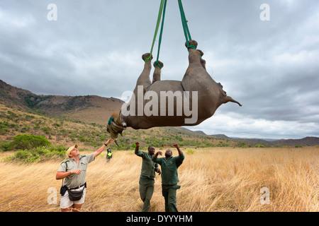 Rinoceronte nero (Diceros simum) essendo preparato per un ponte aereo in elicottero.Ithala game reserve.Sud Africa Immagini Stock