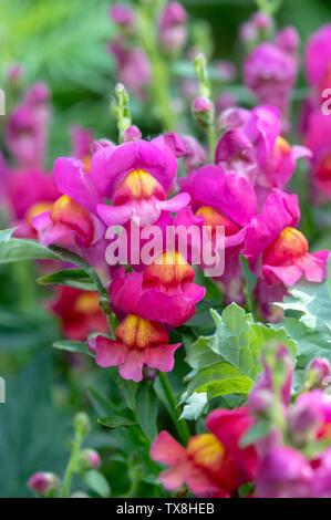 Antirrhinum majus. Bocca di Leone fiore nel giardino un confine Immagini Stock