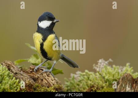 Cinciallegra (Parus major) adulto sul ramo caduti, South Norfolk, Regno Unito. Ottobre. Immagini Stock